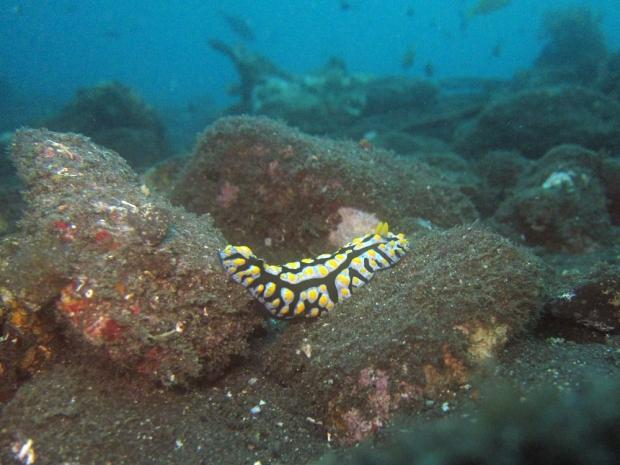Nudibranche Bali Indonesia