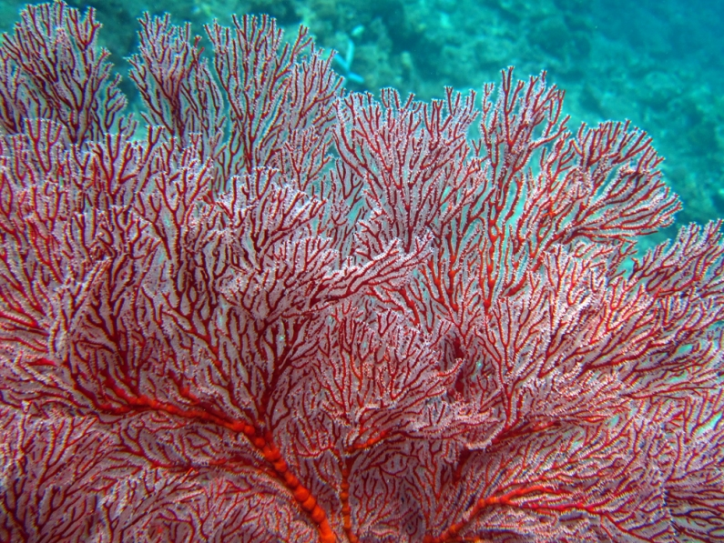 Sea fan Scubadiving Tulamben Amed Bali