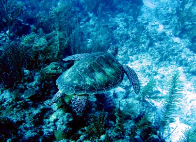 Scuba diving Lighthouse reef Belize Turtle