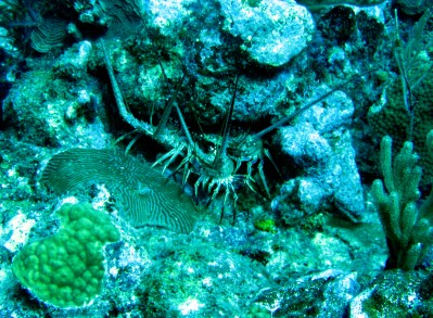 Scuba diving Lighthouse reef Belize Lobsters