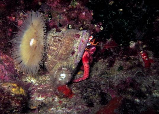 giant hermit crab Kas Turkey