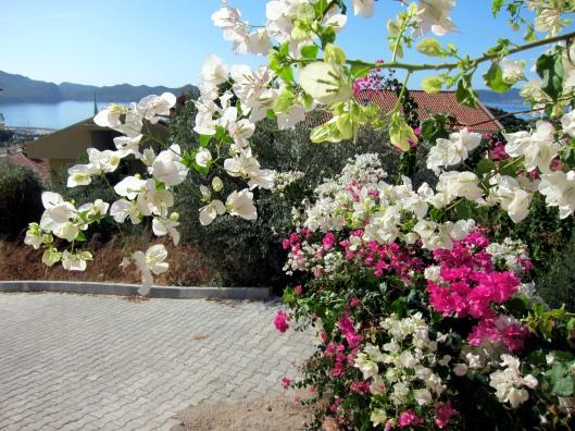 bougainvilla flowers Kas Turkey