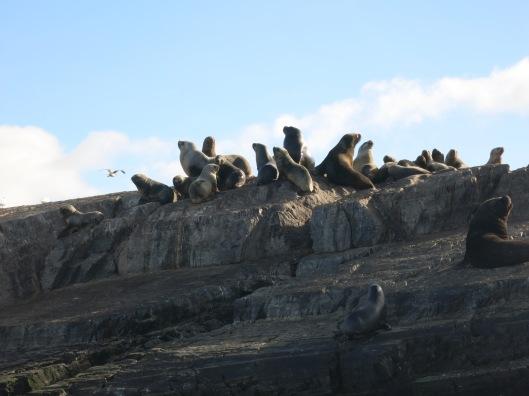 sea lions Ushuaia Argentina