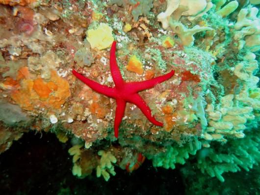 starfish Procida Italy scuba diving