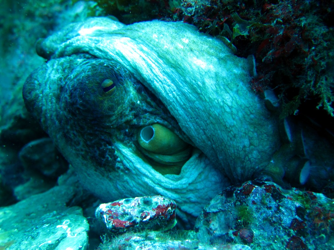 octopus Costa Brava