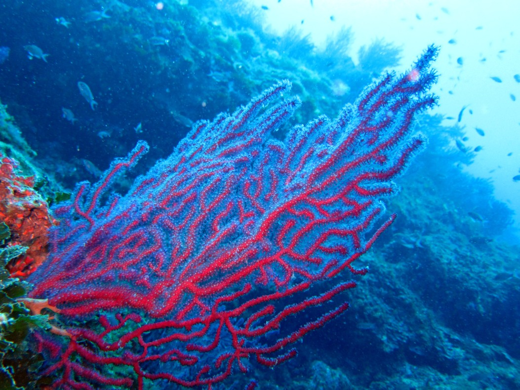 Gorgonian costa brava