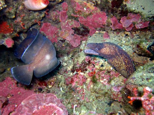 Moray eel Forkbeard Cadaques