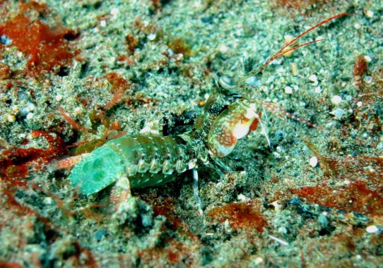 baby mantis shrimp muck diving Dauin Negros Philippines