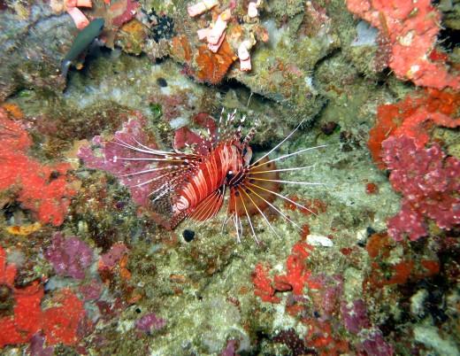 Lion fish Pescadore island Moalboal Cebu Philippines