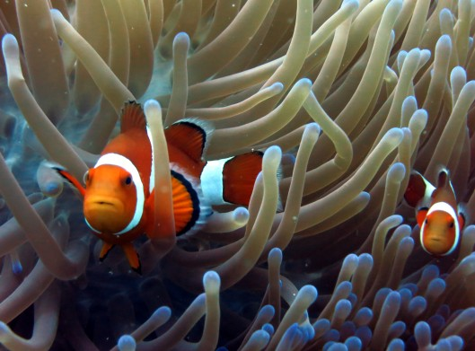 Clown fish Alona reef Panglao Bohol Philippines