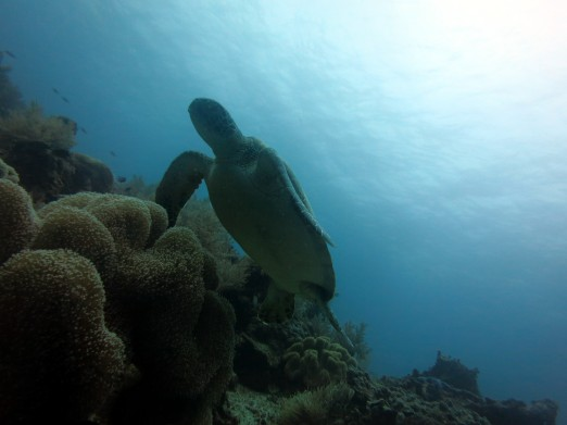 Turtle Balicasag Panglao Bohol Philippines