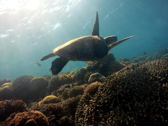 Turtle Balicasag Bohol Philippines
