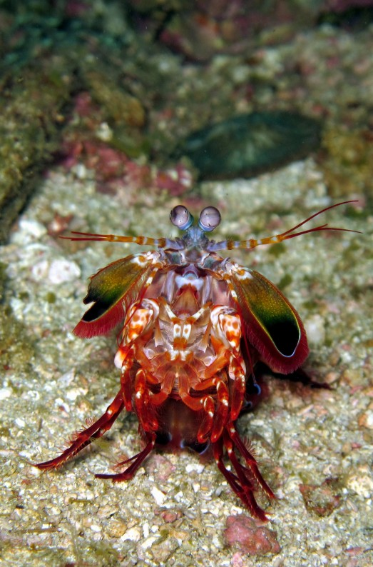 peacock mantis shrimp scuba diving in Malapascua Philippines