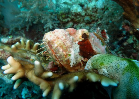Scorpion fish Panglao Bohol Philippines