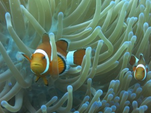 original clownfish picture