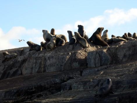 Sea lions beagle channel Ushuaia Argentina Tierra del Fuego