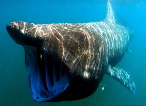 Basking shark diving Scotland