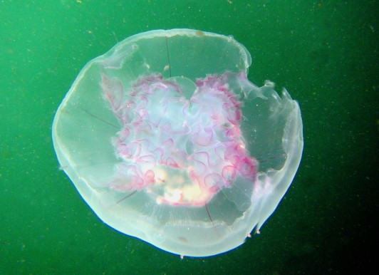 Moon jellyfish scuba diving Sound of Mull Scotland