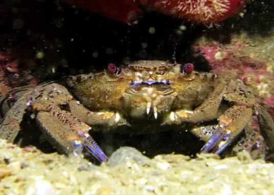 Velvet swimming crab scuba diving Sound of Mull Scotland