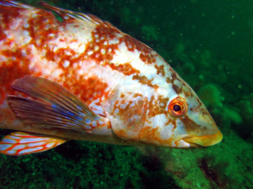 wrasse scuba diving Sound of Mull Scotland