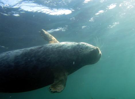 Grey seal Farne Islands scuba diving England UK