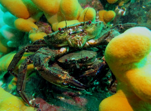 Velvet swimming crabs scuba diving Farne Islands England UK
