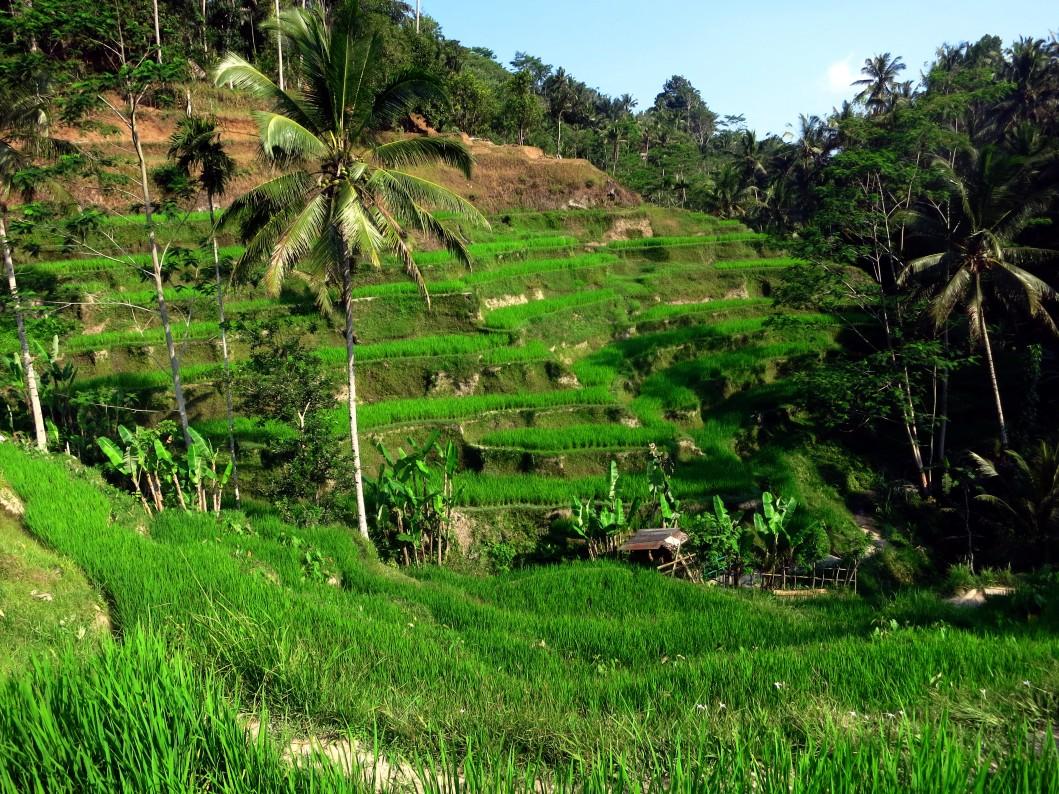 Rice terraces Bali Indonesia