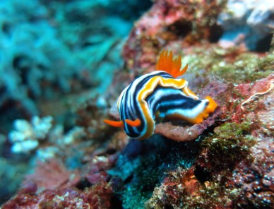 Nudibranch Crystal Bay Nusa Penida Scuba diving Bali Indonesia