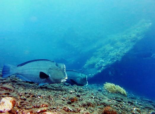 Bumphead parrotfish scuba diving Liberty Wreck Tulamben Bali Indonesia