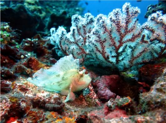 Leaf scorpion fish scuba diving Tulamben Bali Indonesia