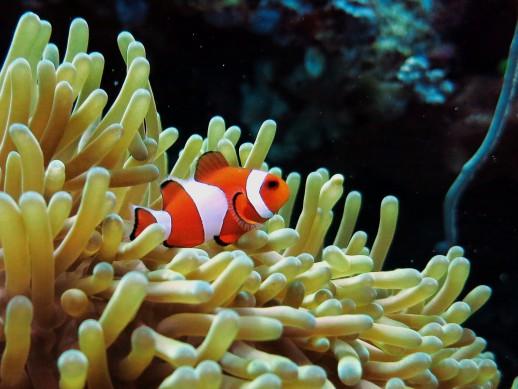 Clownfish Scuba diving Menjangan Island Bali Indonesia