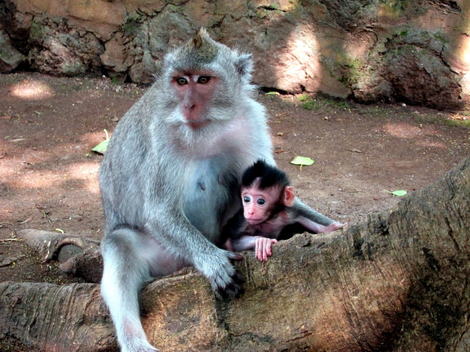 Monkeys Uluwatu Temple Bali Indonesia