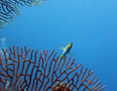 damsel fish gorgonian scuba diving Menjangan Island Bali Indonesia