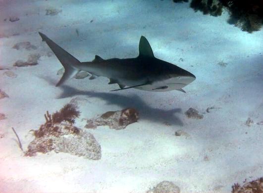 Scuba diving Key Largo Molasses Reef USA