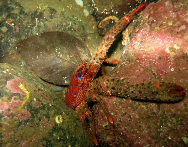 Spiny squat lobster Scuba diving Loch Fyne Scotland