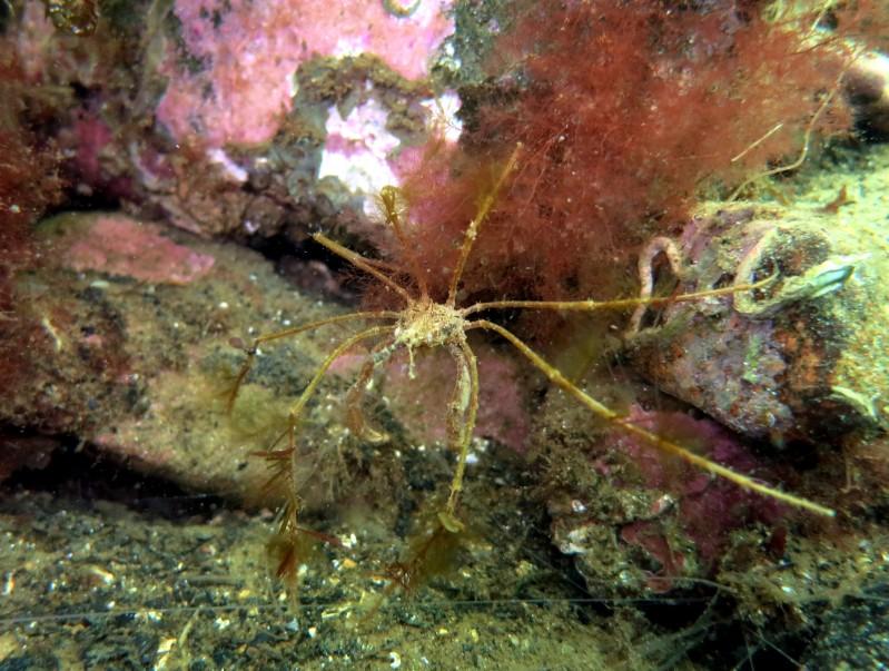 long-legged spider crab Scuba diving Loch Fyne Scotland