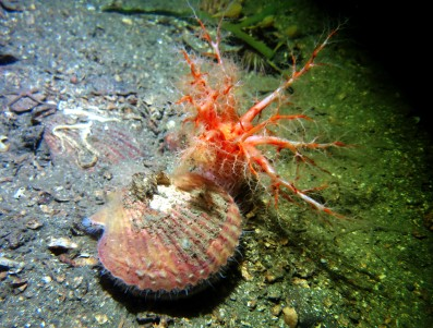 sea cucumber and queen scallop scuba diving Loch Creran Scotland
