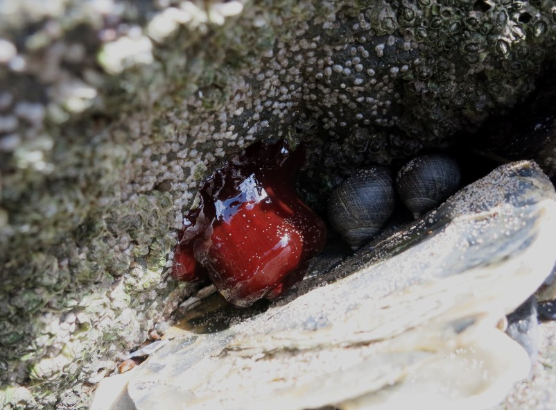 Sea anemone Capturing our Coast survey Cramond Promenade Edinburgh Scotland