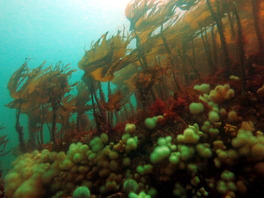 Kelp & Dead men fingers Scuba diving St. Abbs Scotland UK