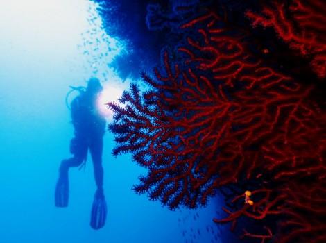 Red gorgonians Scuba diving Portofino Italy