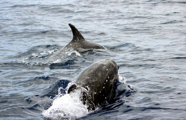 Dolphins Tenerife Canary Islands