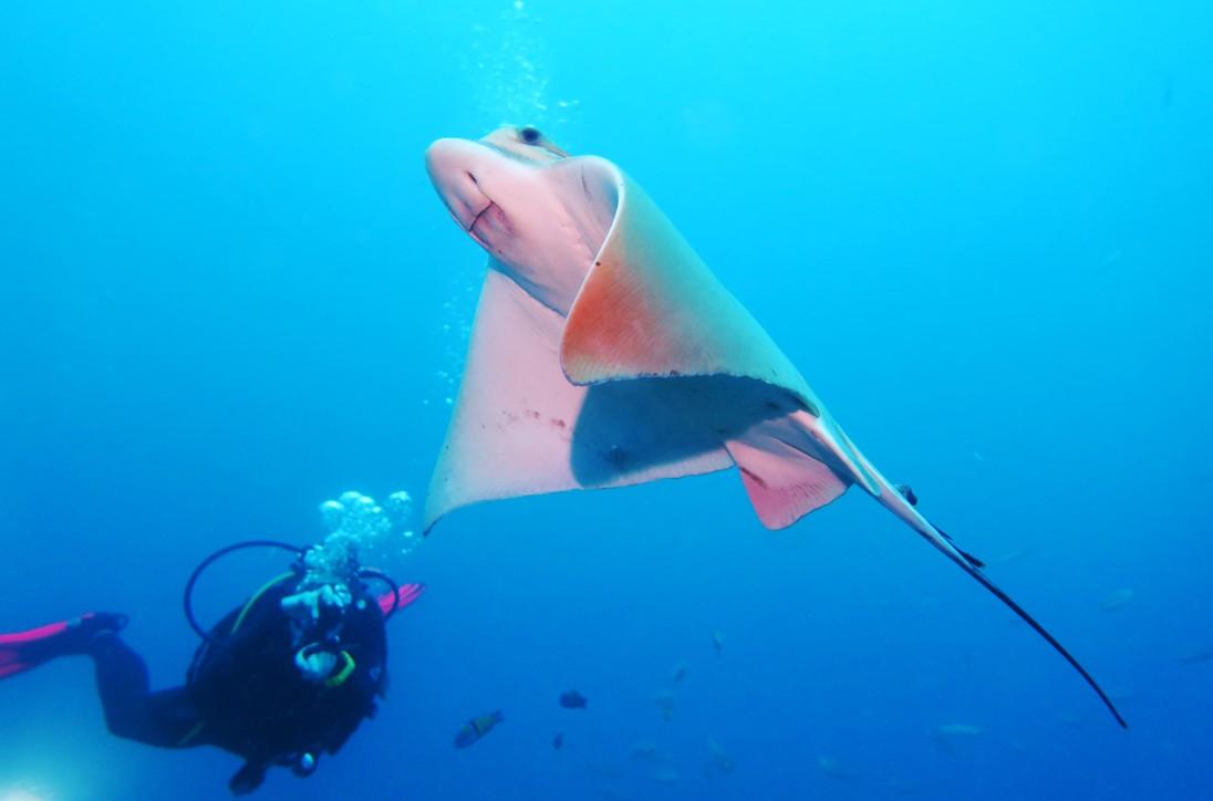 Scuba diving Eagle ray Tenerife Canary Islands