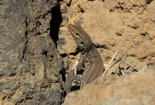 Lizard Teide National Park Tenerife Canary Islands