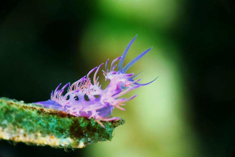 Flabellina nudibranch scuba diving porquerolles France