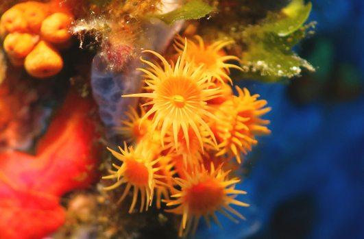 Encrusting anemone scuba diving porquerolles France