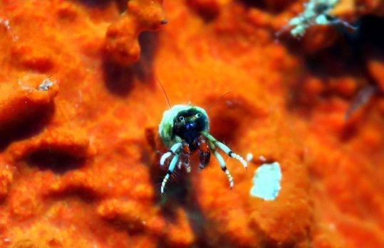 hermit crab scuba diving porquerolles France