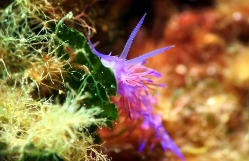 Flabellina nudibranch scuba diving porquerolles France