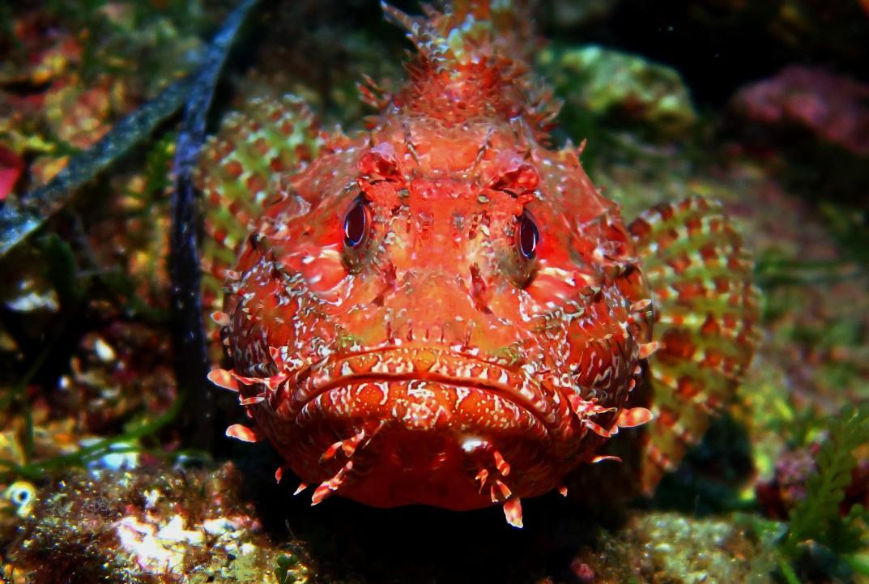 scorpionfish scuba diving porquerolles France