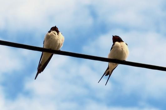 Adorable swallows of Vis Island Croatia
