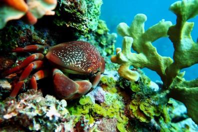 Crab scuba diving Utila Honduras